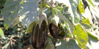 Agrosaveti - Raznovrsna proizvodnja povrca Crepaja 08