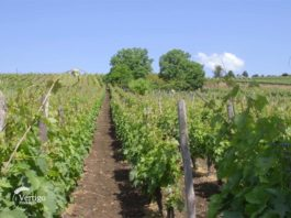 Agrosaveti - Uzgoj vinove loze Poljna 04