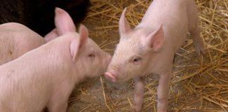 Agrosaveti - Zasto uvozimo svinjsko meso 01