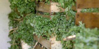 Agrosaveti - proizvodnja sargarepe Mol 08
