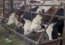 Agrosaveti - Farma krava i proizvodnja mleka Kikinda 04