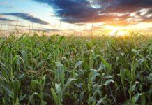 Agrosaveti - Kukuruz zelen 01