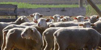 Agrosaveti - Nedimovic ovce 01