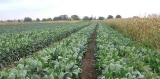 Agrosaveti - Povrtarska proizvodnja Glogonj 02