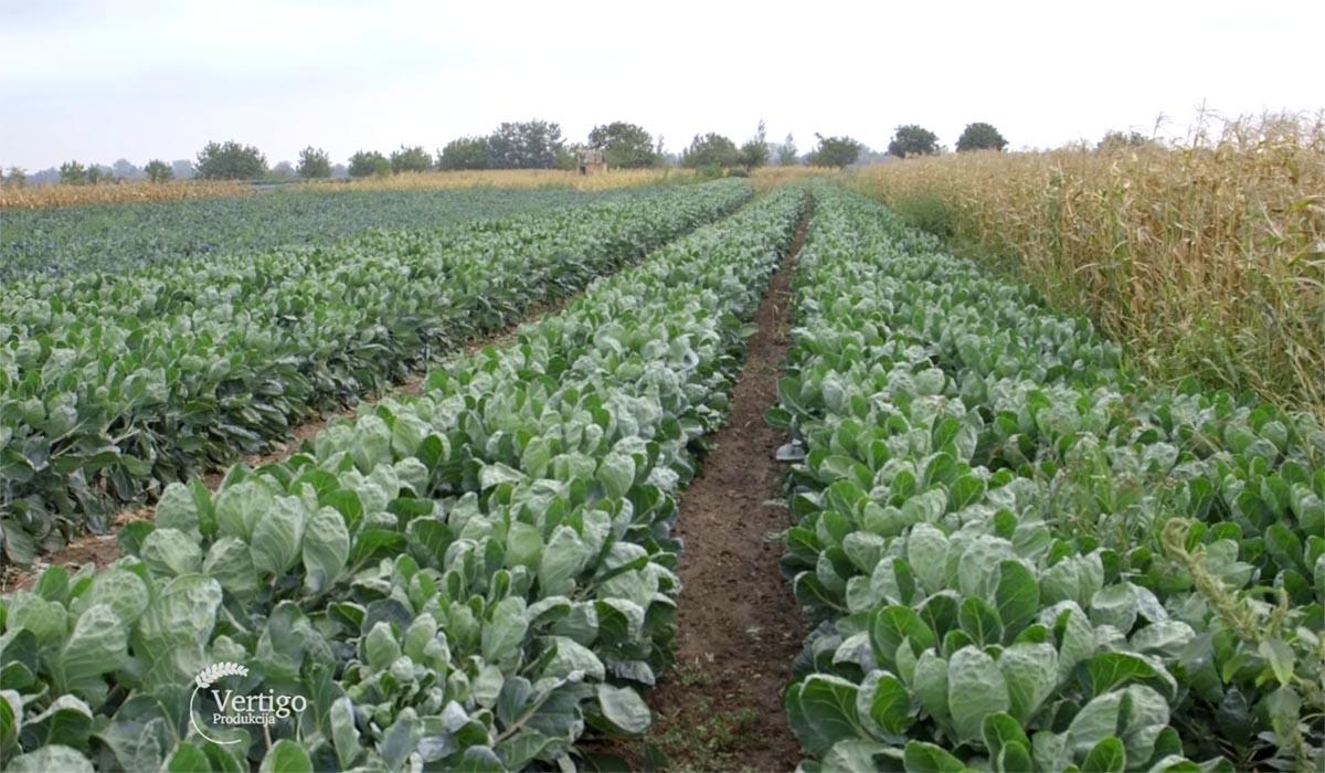 Glogonj: Povrtarska Proizvodnja U Selu Glogonj