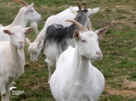 Agrosaveti - Proizvodnja kozjeg sira Cuk 04