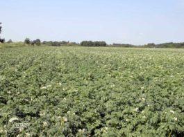 Agrosaveti - Proizvodnja krompira u Lukinom Selu 07