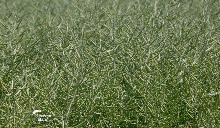 Agrosaveti - Ratarska proizvodnja Sid Djiercan 04