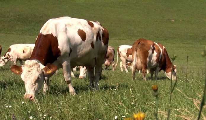 Agrosaveti - Slobodan sistem drzanja krava 01
