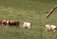 Agrosaveti - Stocna kuga u Bugarskoj 01