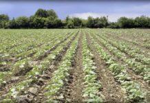 Agrosaveti---Syngenta-dan-polj-ratarskih-kultura-01