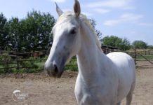 Agrosaveti - Uzgoj konja lipicanera Svilajnac 05