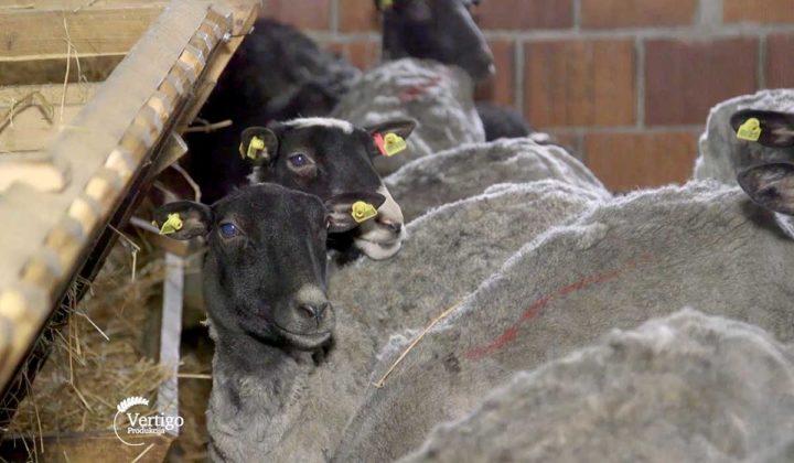 Agrosaveti - Veterinarski saveti za romanovske ovce 02