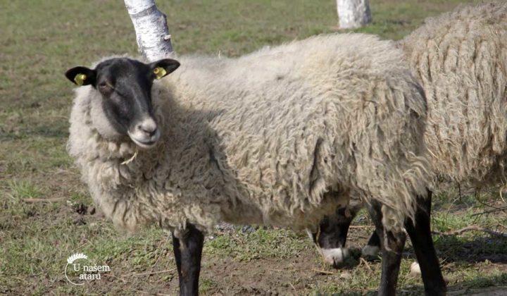 Agrosaveti - Veterinarski saveti za romanovske ovce 04