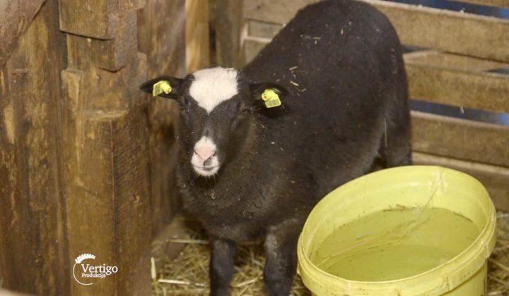 Agrosaveti - Veterinarski saveti za romanovske ovce 05