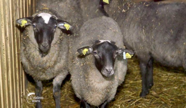 Agrosaveti - Veterinarski saveti za romanovske ovce 07