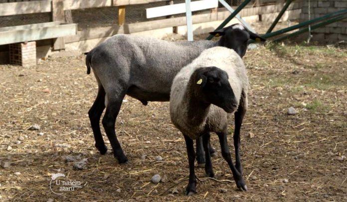 Agrosaveti - Veterinarski saveti za romanovske ovce 08
