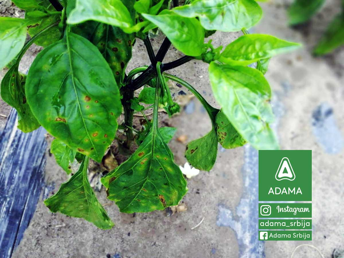 Agrosaveti---Adama---Povce---Paprika---Virusi-03