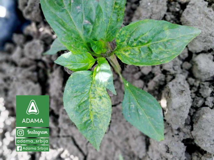 Agrosaveti---Adama---Povce---Paprika---Virusi-04