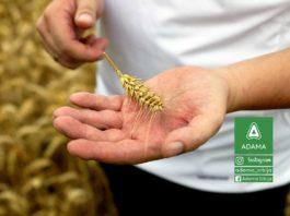 Agrosaveti---Adama---Psenica---Zrenjanin---Bumper-P---Zamir---Najlepsa-je-moja-njiva-03