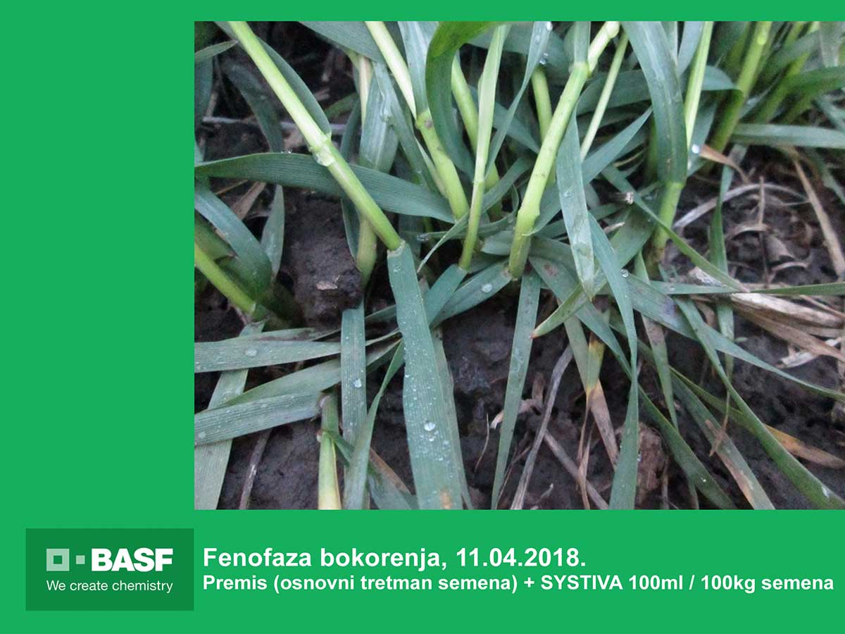 Agrosaveti---BASF---Systiva---Psenica-01