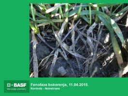 Agrosaveti---BASF---Systiva---Psenica-06