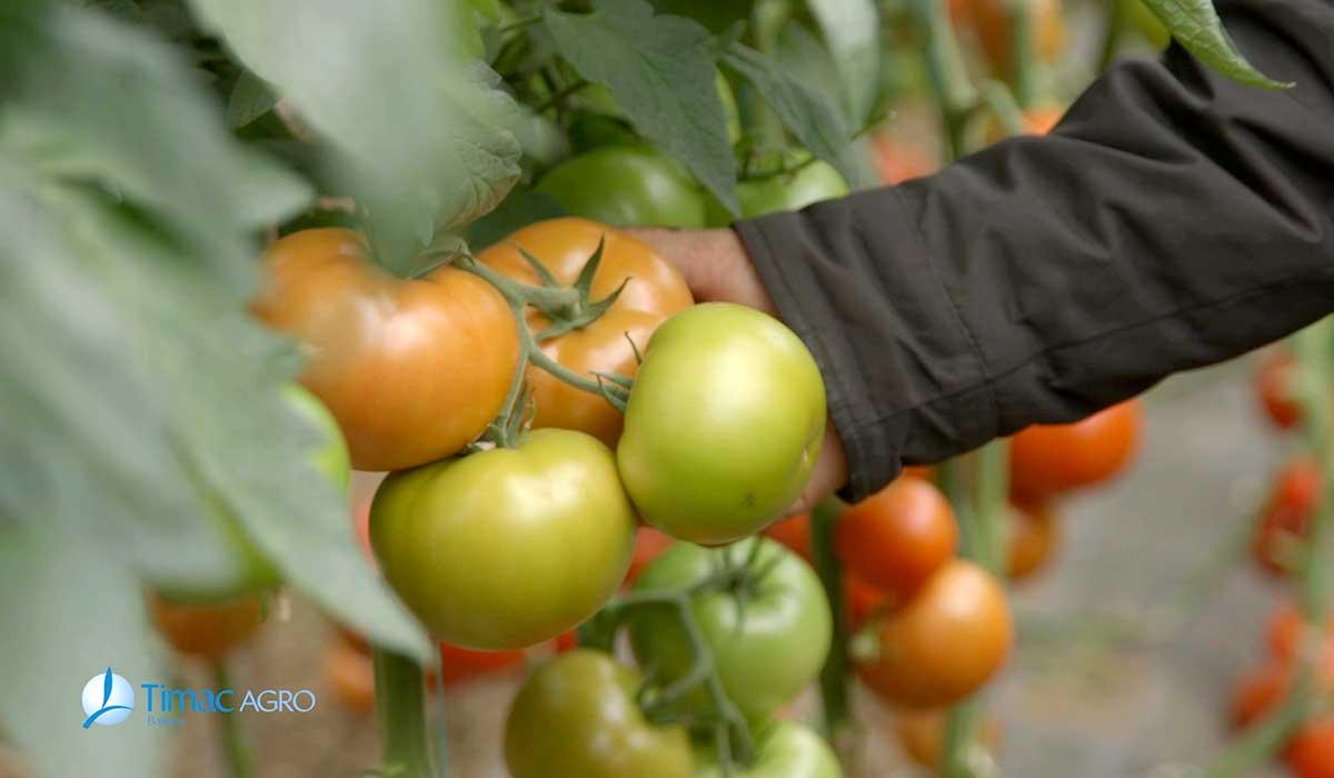 Agrosaveti - Dan polja paradajza Timac Agro 01