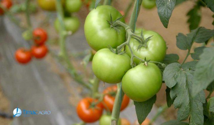Agrosaveti - Dan polja paradajza Timac Agro 02