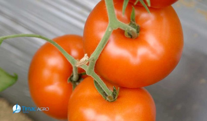 Agrosaveti - Dan polja paradajza Timac Agro 03