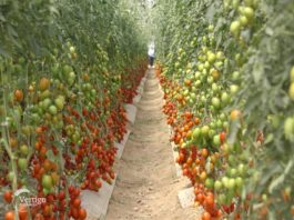 Agrosaveti - Doktor za paradajz 01