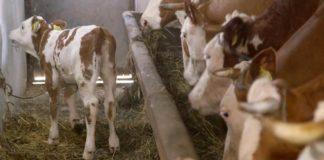 Agrosaveti - Farma krava u selu Makce 04