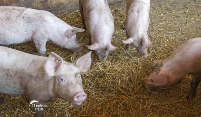 Agrosaveti - Farma svinja u Starom Žedniku 01
