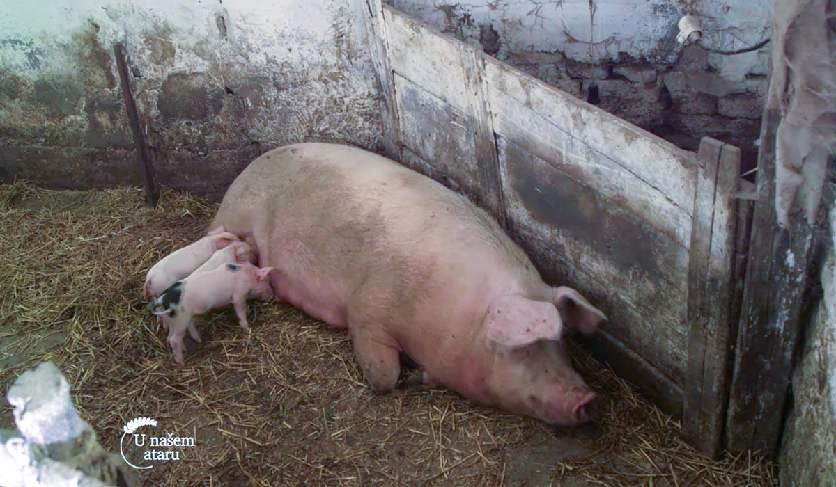 Agrosaveti - Farma svinja u Starom Žedniku 06
