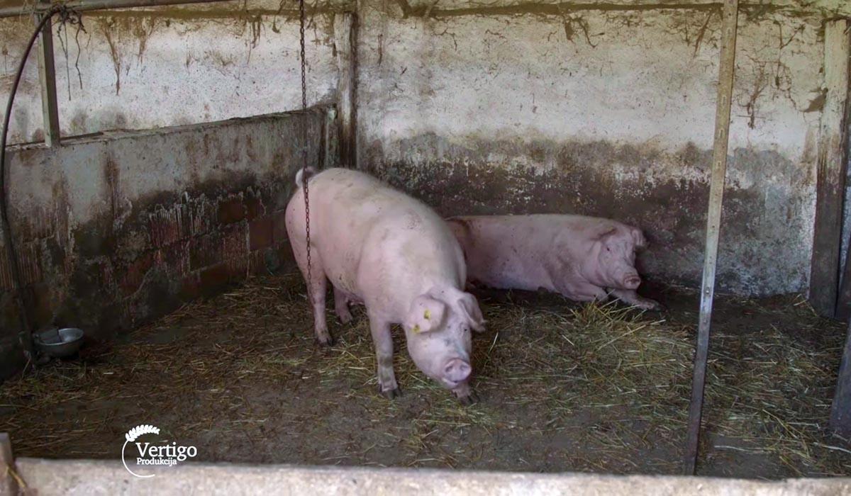 Agrosaveti - Farma svinja u Starom Žedniku 07