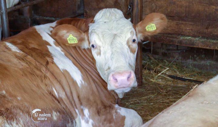 Agrosaveti - Govedarstvo u Svilajncu 02