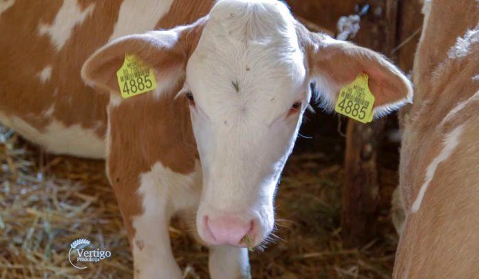 Agrosaveti - Govedarstvo u Svilajncu 05