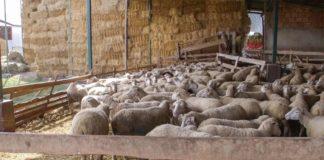 Agrosaveti - Ile de France ovce Novo Orahovo 06
