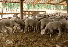 Agrosaveti - Ovčarska proizvodnja u Ravnom Selu 05
