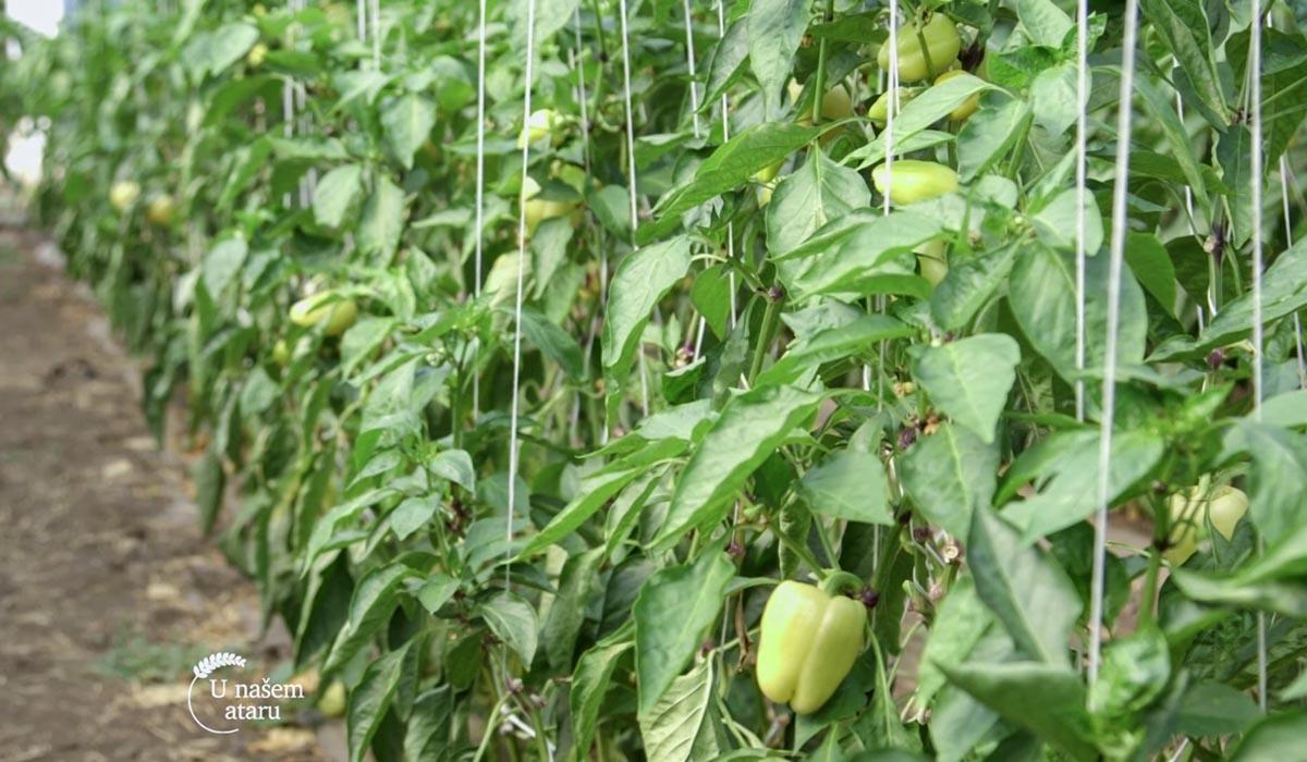 Agrosaveti - Plastenička proizvodnja paprika 03
