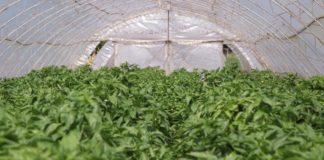Agrosaveti - Plastenička proizvodnja paprika 06