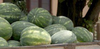 Agrosaveti - Proizvodnja bostana u Sremu 06