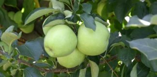 Agrosaveti - Proizvodnja jabuka Sumadija 07