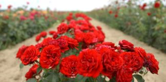 Agrosaveti - Proizvodnja ruza u Lipolistu 01