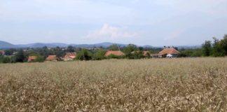 Agrosaveti - Stanje psenice u Sumadiji 04