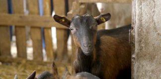 Agrosaveti - Uzgoj alpino koza Gracac 06