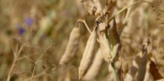 Agrosaveti - Uzgoj stocnog graska 03