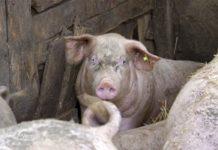 Agrosaveti - Uzgoj svinja Bajmok 01