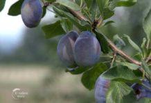Agrosaveti - Vocarska proizvodnja Gornja Trnava 06