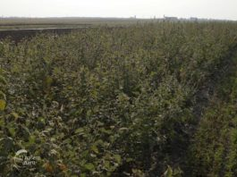 Agrosaveti - Zaštitni pojasevi u organskoj proizvodnji 02