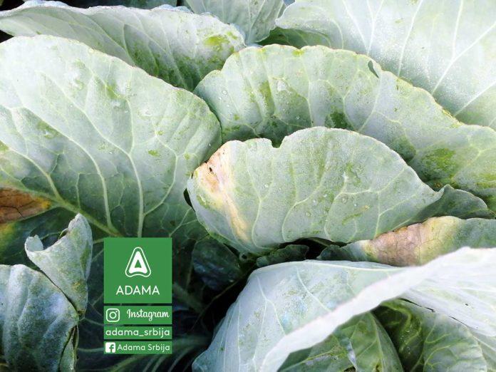 Agrosaveti---Adama---Povce---Kupus---Kupusnjace---Crna-trulez-02